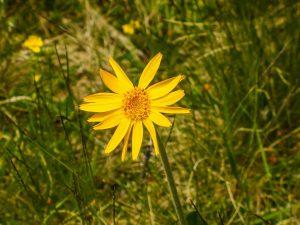 アルニカanica 芳香のある多年草。フケとりの薬にも含まれる。収斂作用や肌の状態を整える成分として配合されています。