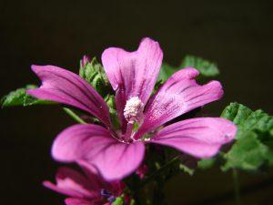 ゼニアオイmallow 丸い花が銭のように見える。呼吸器疾患の煎剤用薬草としても使用。粘液質があり、肌の保湿作用や肌表面を柔らかくする作用があることから化粧品の成分にも使用されています。