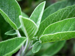 セージsage 夏に紫の花を咲かせる。食用として栽培されることもある。殺菌作用や収れん作用があるため、ニキビなどに効果的。抜け毛を防止し、髪にツヤを与えます。