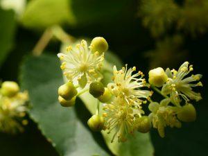 フユボダイジュsmall-leaved-lime <リンデン、スモールリーブライム> 肌へは抗菌、鎮静、血行促進、エモリエント、抗炎症、抗菌等の作用があります。ヨーロッパでは、昔から薬用植物として用いられ、ハーブティーとして愛用されています。