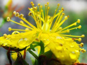 セイヨウオトギリソウst. john's wort 成分はタンニン・セレン。肝臓の薬として多く使われている。また消炎効果があり、神経痛や炎症などに対し古くから湿布薬として利用されてきました。